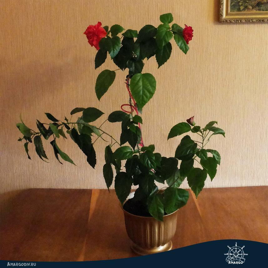 Гибискус. 3 стадии цветения китайской розы
